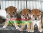 上海最大最权威--专业繁殖纯种 柴犬幼犬-加微信聊上门半价