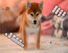 日系**柴犬 疫苗齐全 公母俊介 柴犬价格 柴犬成年多大