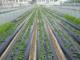 黑地膜 农用黑色塑料地膜 农膜 不透光保温除草 0.6-2米宽