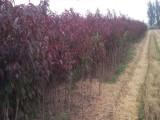 山东龙柱碧桃种植基地大量供应龙柱碧桃树苗