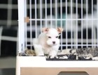哪里有犬舍卖雪纳瑞 大连市雪纳瑞怎么卖的 雪纳瑞出售