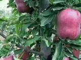 甘肃天水花牛苹果树苗 花牛苹果树苗品种 价格基地