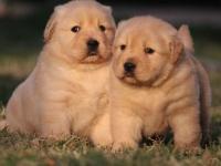 成都楓葉系 大頭金毛幼犬 疫苗齊全 當時化驗簽署協議