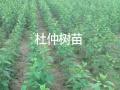 杜仲树,名贵药材占地最高价物流运输