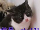 周年庆钜惠布偶猫加菲猫专卖单c双c认证 售后保终身