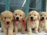上海哪里有金毛犬卖 上海金毛犬价格 上海金毛犬多少钱