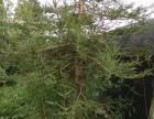 北美红杉出售