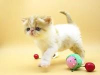 到店挑选--加菲猫/折耳猫/金吉拉--送货到家