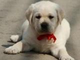 重庆哪里出售拉布拉多犬 重庆拉布拉多犬多少钱