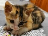 北京三四个月的小猫找家