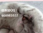 叁个月奶白色折耳猫猫找新主人了