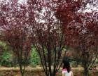 红叶李报价 紫叶李 四季桂花 花石榴 日本樱花树 木槿 侧柏