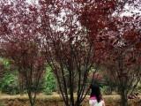 紅葉李報價 紫葉李 四季桂花 花石榴 日本櫻花樹 木槿 側柏
