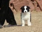 临沂出售纯种边境牧羊犬幼犬 通鼻通缝 白围脖