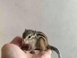魔王雪地松鼠,飞鼠龙猫,蜜袋鼯,迷你刺猬