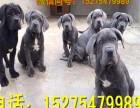 赛级护卫犬卡斯罗犬罗威纳犬马犬纯种卡斯罗幼犬大型猛犬视频挑选