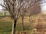 种植皂角树基地在哪 出售价格多少