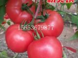 耐雨水耐裂粉果番茄种子-精品硬粉大果-粉贝琪热火