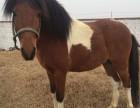 哪里有出售旅游景区骑乘宠物小矮马的多少钱一匹