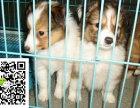 在哪里买纯种的喜乐蒂幼犬 喜乐蒂幼犬最低多少钱