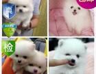 重慶出售 精品博美幼犬 超低價 只限今天