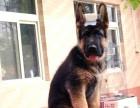 北京德国牧羊犬幼犬多少钱一只北京哪里有卖德牧 德牧价格