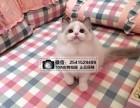 兰州布偶猫猫舍 兰州出售布偶猫 兰州什么地方有卖布偶猫