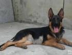 直销高品质德牧等品种幼犬 签协议 送用品