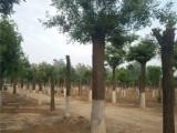 滨州15公分白蜡树基地长年出售