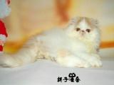 波斯猫纯种幼猫波斯猫幼猫活体波斯猫宠物猫活体波斯猫