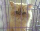 波斯喜马拉雅纯种公猫