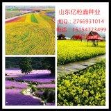 黑麦草种子价格苏丹草种子价格高丹草种子在线