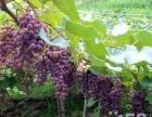 园林种植葡萄量大,1元一斤