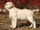 狗场里的拉布拉多能不能养活 价格贵不贵