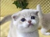 杭州南京苏州宁波加菲金吉拉豹蓝暹罗无毛猫买猫 双飞猫