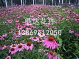 松果菊种植基地山东哪里供应的松果菊价格优惠