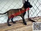 出售五六个月的斯塔福犬小狗多少钱 成年斯塔福犬价格贵吗