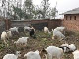 农村土山羊 成群好放养