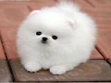 上海里有卖漂亮白色博美犬 宠物博美钱好养