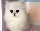 金吉拉猫 2500元