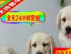 上门挑选价格公道可签正规购犬协议拉布拉多犬