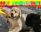 官方、专业繁殖血统拉布拉多犬、保健康、高品质。