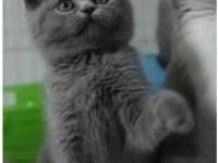 出售纯种美短虎斑 英短蓝猫 蓝白 幼猫咪活体出售