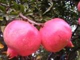北京大兴果树花卉基地大量供应葡萄树樱桃树石榴树各种北京果树
