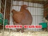 北京元宝鸽价格 两头乌鸽 黄色大鼻鸽多少钱一对