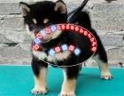 正宗柴犬,拒绝欺骗,拒绝假货,签合同包健康纯种