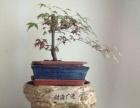 红枫盆景出售