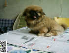在哪里买纯种的京巴幼犬 京巴幼犬最低多少钱