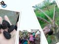 象州农民出售桑葚果 量大代发大巴