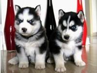 石家庄犬舍直销哈士奇,拉布拉多,萨摩,博美等名犬,批发价出售